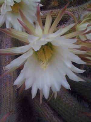 A cactus blossom.